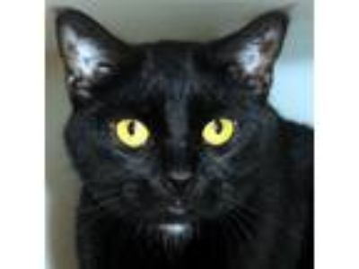 Adopt Binx -- Bonded Buddy With Mazie a Domestic Shorthair / Mixed cat in Des