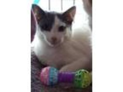 Adopt Sweety-Petey a Domestic Short Hair