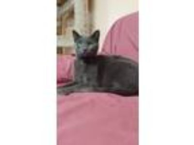 Adopt Simon a Domestic Short Hair