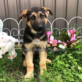 German Shepherd Dog PUPPY FOR SALE ADN-72229 - German Shepherd puppies from imported parents
