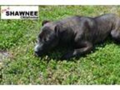 Adopt Sissy a Brindle - with White American Pit Bull Terrier / Mixed dog in