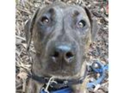 Adopt Amanda a Brown/Chocolate American Pit Bull Terrier / Mixed dog in