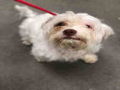 Adopt BISCUIT a White Havanese / Mixed dog in Upper Marlboro, MD (25283649)