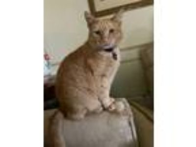 Adopt Polydactyl Herb a Domestic Short Hair, Tabby