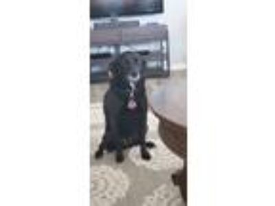 Adopt Daisy a Black Labrador Retriever / Jack Russell Terrier dog in Romoland