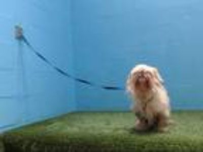 Adopt PRINCESS a Tan/Yellow/Fawn - with White Shih Tzu / Mixed dog in Orlando