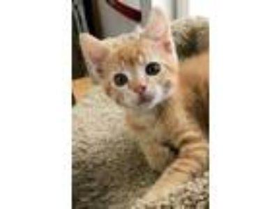 Adopt Sawyer a Orange or Red Domestic Shorthair / Domestic Shorthair / Mixed cat