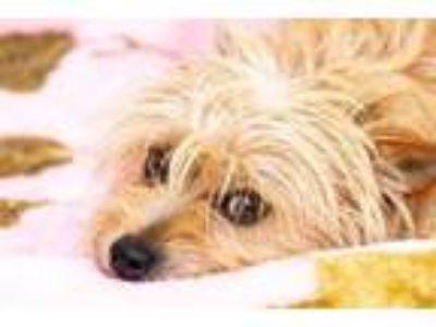 Adopt KIP a Wirehaired Terrier, Terrier