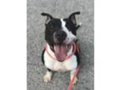 Adopt Piruai a Black American Pit Bull Terrier / Mixed dog in Philadelphia