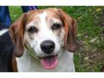 Adopt Gladys a White Beagle / Mixed dog in Pittsfield, MA (25357149)