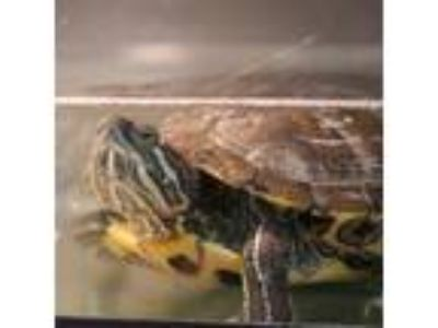 Adopt *FROGGY a Turtle - Other / Mixed reptile, amphibian