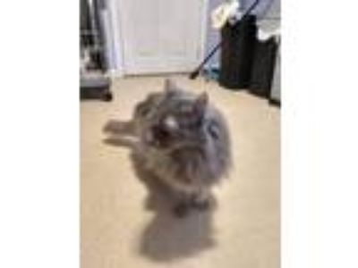 Adopt Ophelia a Gray or Blue Domestic Longhair (long coat) cat in Wellesley