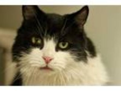 Adopt BELL a Black & White or Tuxedo Domestic Longhair / Mixed (long coat) cat