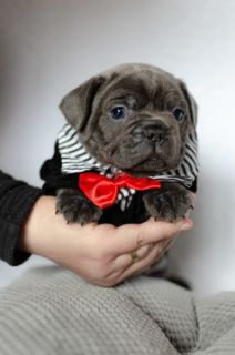 French Bulldog PUPPY FOR SALE ADN-105468 - Handsome Puppy Thor