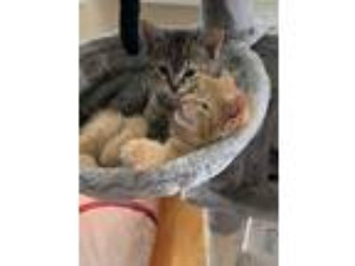 Adopt Vivian a Gray, Blue or Silver Tabby Domestic Mediumhair cat in Jersey