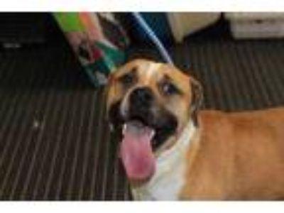 Adopt Wyatt a Tan/Yellow/Fawn American Staffordshire Terrier / Mixed dog in Palm