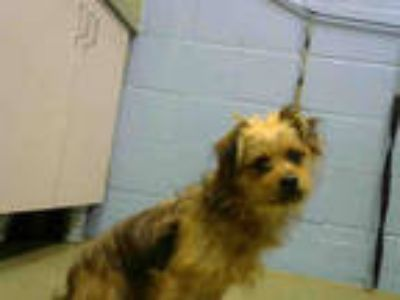 Adopt a Brown/Chocolate Terrier (Unknown Type, Medium) / Mixed dog in Moreno