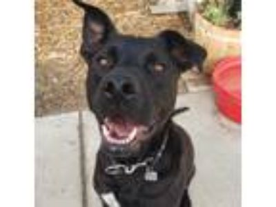 Adopt Koopa a Black - with White Pit Bull Terrier / German Shepherd Dog / Mixed
