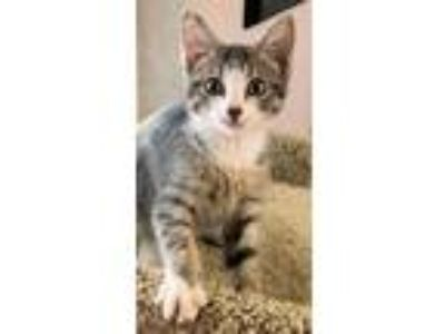Adopt Diesel a Gray or Blue Domestic Shorthair / Domestic Shorthair / Mixed cat