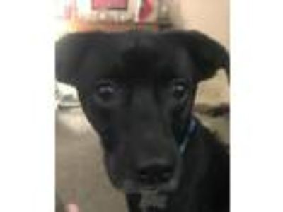 Adopt Nut a Black - with White Labrador Retriever / Mixed dog in Loganville