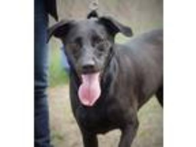 Adopt CGC Johnny a Black Labrador Retriever / Mountain Cur / Mixed dog in