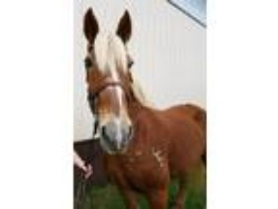Adopt Jordan - In Foster a Belgian / Mixed horse in Quakertown, PA (19506200)