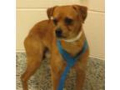 Adopt Freddy a Terrier (Unknown Type, Medium) / Mixed dog in Golden