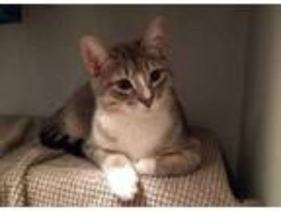 Adopt Pete a Gray or Blue Domestic Shorthair / Domestic Shorthair / Mixed cat in