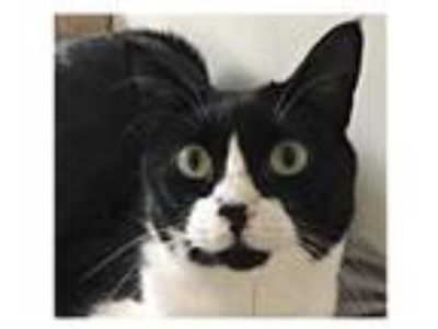 Adopt Arnie a Black & White or Tuxedo Domestic Longhair / Mixed cat in