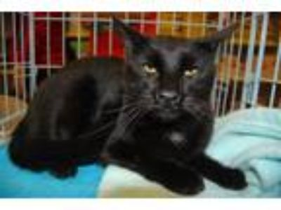 Adopt Blue - Whittier a Domestic Short Hair