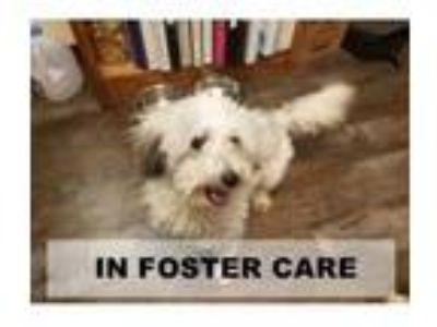 Adopt Bolt a White Poodle (Toy or Tea Cup) / Mixed dog in Tangent, OR (25335253)