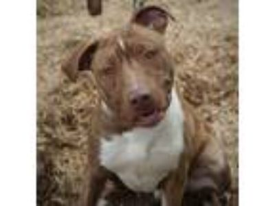 Adopt CGC Donnie a Brown/Chocolate - with White Terrier (Unknown Type
