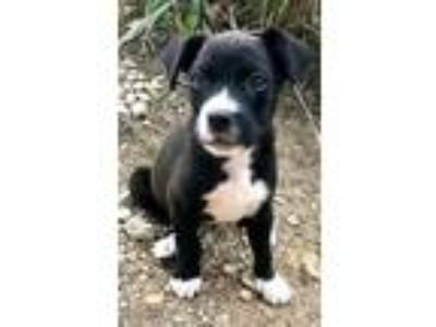 Adopt Izzy a Black - with White Pit Bull Terrier / Mixed dog in Seattle