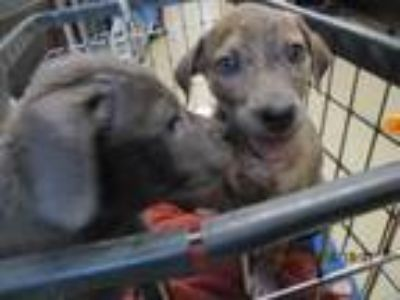 Adopt Happy a Catahoula Leopard Dog, Mixed Breed