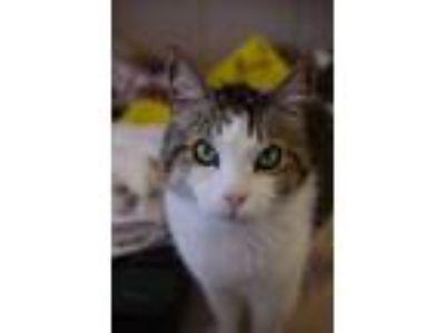 Adopt Frankie a American Shorthair, Tabby