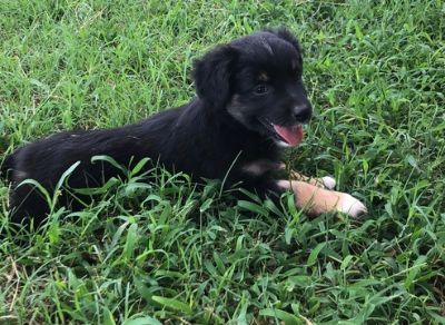 Miniature Australian Shepherd PUPPY FOR SALE ADN-92721 - Black Tri Girl