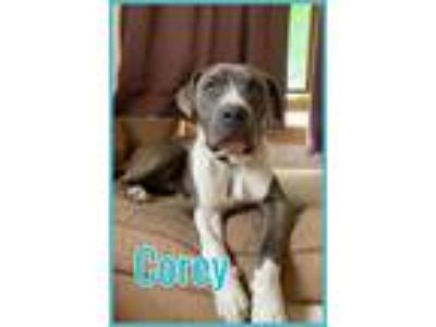 Adopt Corey a American Staffordshire Terrier