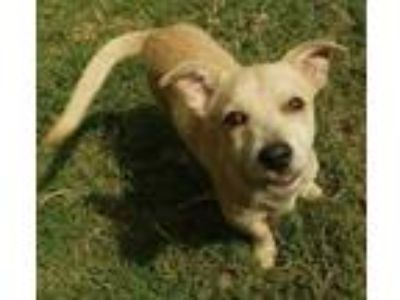 Adopt Puppy George a Terrier