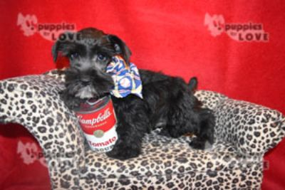 Schnauzer (Miniature) PUPPY FOR SALE ADN-52388 - AKC CONNOR