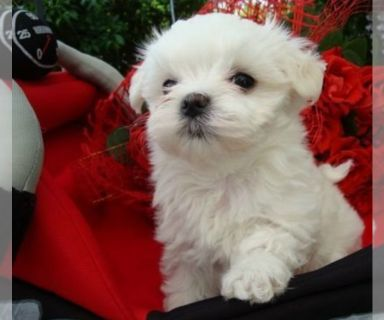 Maltese PUPPY FOR SALE ADN-131164 - Maltese Puppy