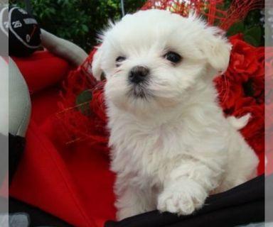 Maltese PUPPY FOR SALE ADN-131164 - Maltese Puppy