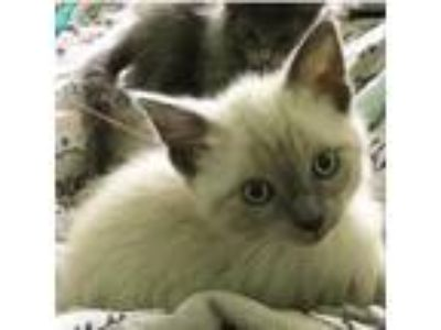 Adopt Rizzoli a Gray or Blue Siamese cat in Los Angeles, CA (25663408)