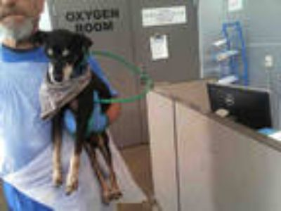 Adopt ALEX a Black - with Tan, Yellow or Fawn Rat Terrier / Mixed dog in Dallas