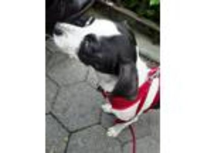 Adopt Peanut a Black - with White Jack Russell Terrier dog in Manhattan