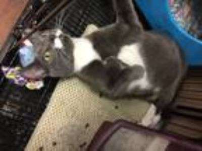 Adopt Lenny a Gray or Blue (Mostly) Domestic Shorthair (short coat) cat in