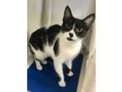 Adopt S'mores a All Black Domestic Shorthair / Domestic Shorthair / Mixed cat in