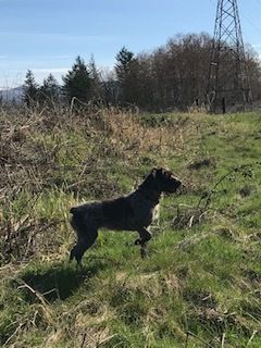 Wirehaired Pointing Griffon PUPPY FOR SALE ADN-104851 - Puppies Have Arrived
