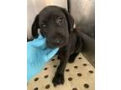 Adopt Axel a Labrador Retriever / Hound (Unknown Type) / Mixed dog in