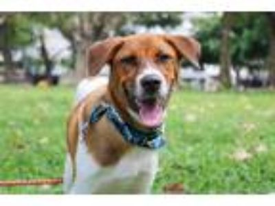 Adopt Noah a White - with Brown or Chocolate Collie / Hound (Unknown Type) /
