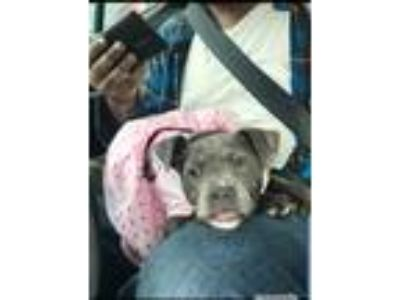 Adopt Noelle a Gray/Blue/Silver/Salt & Pepper American Pit Bull Terrier dog in